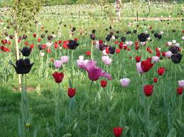 November Flowers File Tulip Flowers In England Jpg Wikimedia Commons