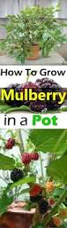 Tree With Fruit That Looks Like Blackberries Growing Mulberry In Containers How To Grow Mulberry Tree In A Pot