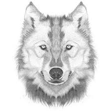 how to draw a wolf head step by step lesson click pic for