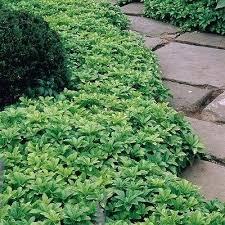 best vegetable garden ground cover best ground cover shade plants