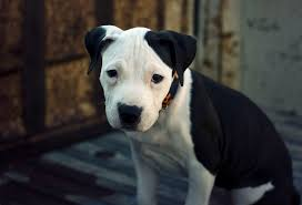 american pitbull terrier uk law join the rspca campaign to end unfair breed specific legislation