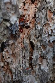 what color are guide signs signs of bark beetle infestation ready for wildfire