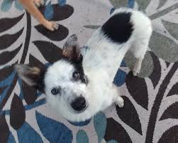 australian shepherd rescue nc adoptable pets halfway there