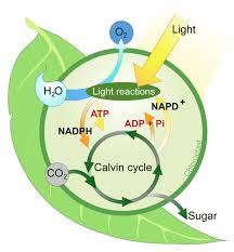Where Do The Light Independent Reactions Occur Photosynthesis Sugar As Food Ck 12 Foundation