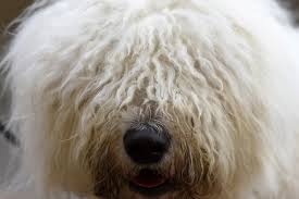 crufts bichon frise 2014 crufts 2016 nearly 22 000 pooches travel to birmingham nec for