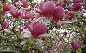 Magnolia Wallpaper by Magnolia Tree Pink Flower Wallpaper For Desktop 2560x1600