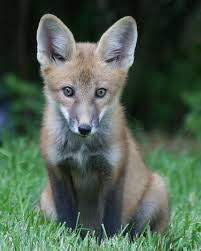 Kansas wild animals images 172 best baby foxes images baby foxes red fox and jpg