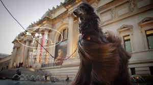 afghan hound long haired dogs westminster dog show afghan hound at the met youtube