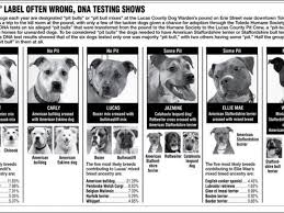 american pitbull terrier breeders st louis not all scary dogs are pit bulls often confused with other breeds