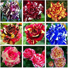 roses online seeds color roses online seeds color roses for sale