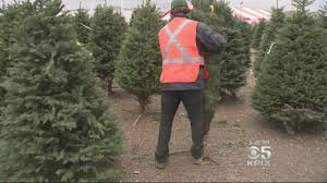 christmas tree farmers worried about tree shortage cbs san francisco