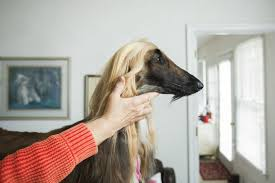 afghan hound breeders new york va beach afghan hound wins best in breed in n y pets