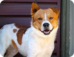 australian shepherd breeders los angeles huell howser adopted dog los angeles ca australian shepherd