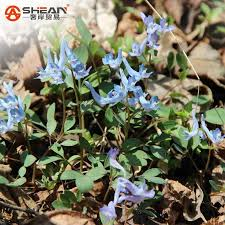 2017 blue swan flower seeds garden terrace with chinese