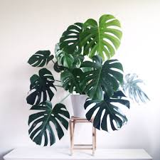 homelife top 15 indoor plants magnifique faux philodendron ou monstera indoor plants