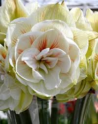 Amaryllis Flowers Wholesale Amaryllis Bulbs Dutchgrown