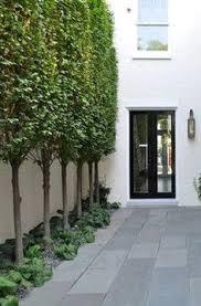 hornbeam trees for fence line sequin gardens u2026 pinteres u2026