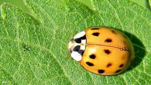difference between ladybug and asian beetle youtube