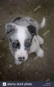 australian shepherd 9 weeks blue merle border collie puppy aged 9 weeks old stock photo