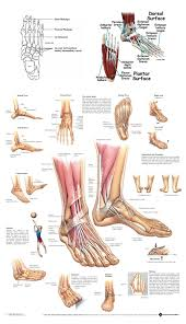Anatomy Of A Foot Anatomy Foot And Ankle Human Anatomy Library