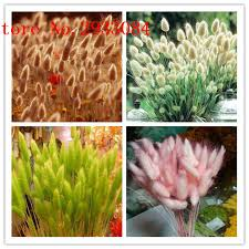 100pcs tropical ornamental plants grass seeds bunny tails grass