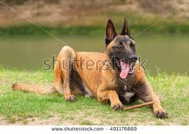 belgian malinois photos belgian malinois young puppy park fields stock photo 491176684