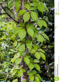 tree trunk with a climbing plant stock photography image 31354812