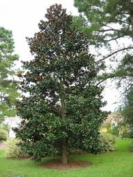 Backyard Shade Trees Backyard Southern Magnolia Tree Shade Trees For The Backyards