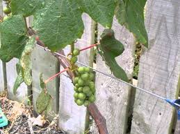grapes for growing video youtube