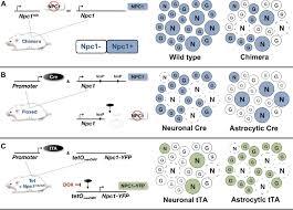 genetic dissection of a cell autonomous neurodegenerative disorder