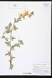 florida native plant list chamaecrista fasciculata species page isb atlas of florida plants