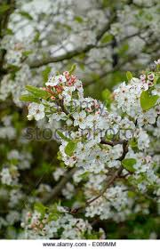 ornamental pear stock photos ornamental pear stock images alamy