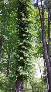 blue heron landscape design garden worthy plants u2013 climbing