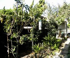 backyard fruit trees in new orleans summer green thumb images with