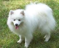 american eskimo dog toy for sale american eskimo puppies for sale long island manhattan