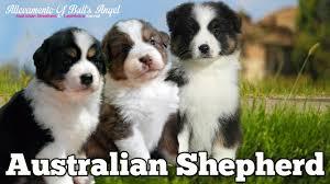 australian shepherd 3 mesi cuccioli australian shepherd allevamento of bull u0027s angel youtube