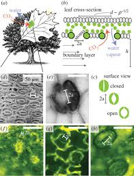 stomatal design principles in synthetic and real leaves journal