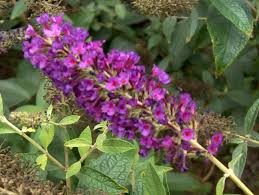 buddleia davidii guinevere guinevere butterfly bush located in