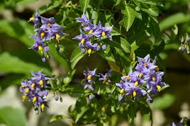 Climbing Plants For North Facing Walls - clothe that problem shady area in flowers and scent hayes garden
