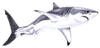 great white shark sketch great white shark sketch 1 by u003dsteeljaw