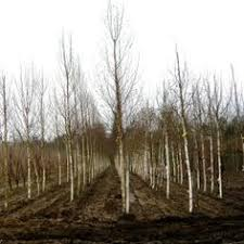 joanne alderson garden design berkshire buying rootballed trees 5