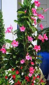 Mandevilla Plant Diseases - mandevilla sun parasol giant crimson houseplants pinterest