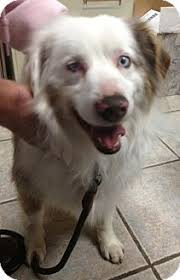 australian shepherd up for adoption 17 best images about up for adoption on pinterest chihuahuas