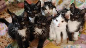 100 black and white kittens abandoned at a bay area shelter