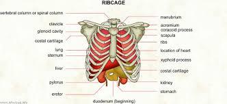 ribcage visual dictionary