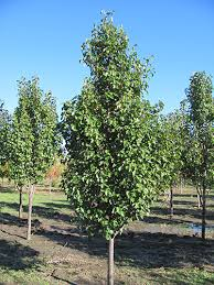 chanticleer pear brady nursery