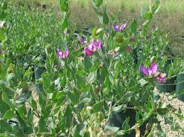 polygala dalmaisiana new plant this year hoping it will be the
