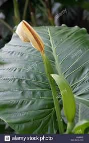 queensland native plants native lily cunjevoi or elephant ear plant alocasia brisbanensis