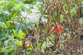 8 things not to do in the vegetable garden veggie gardener