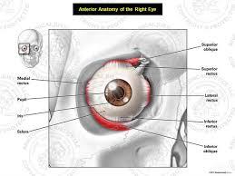 Surface Anatomy Eye Medical Art Anterior Anatomy Of The Right Eye Stock Medical